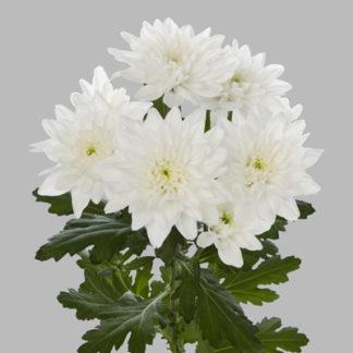 lilled kulleriga tallinn