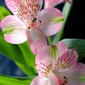lillied tallinnas